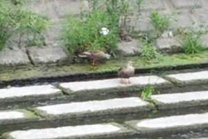 この2羽は、繁殖できなかったのかもしれない。オスがメスの食事のペースに合わせうまくリードしていた