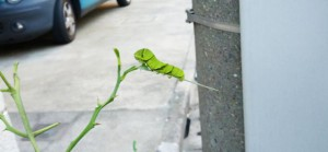 ナミアゲハの終令幼虫