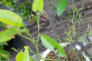 ナミアゲハの若令幼虫