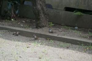 やんちゃな幼鳥は、成長に混じって公園の真ん中でエサをとるが、彼らは、公園の端っこで、彼らの関心に夢中のようだ。