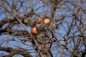 柿を食べるムクドリ