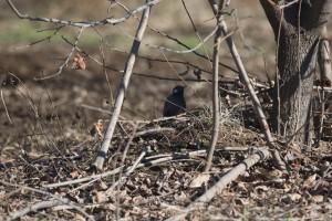畑の木の下で休みながらキュキュキュと囀るムクドリ。一羽ならかわいらしい