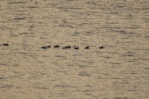 ため池を泳ぐキンクロハジロなどの水鳥