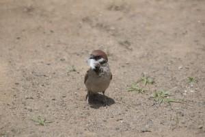 巣材を運ぶ親鳥
