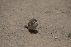 巣立った幼鳥