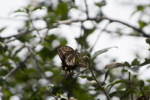目の前を飛んでいたアゲハチョウ