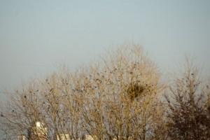 フリーウェイ。車窓から。ホシムクドリの群だろうか?
