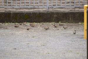 スズメの群 雌雄の区別は難しい