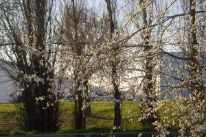花が咲いている。今季のイタリアも暖冬とのこと。