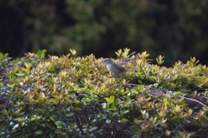 ウグイス 珍しく茂みの上に出てきてくれた