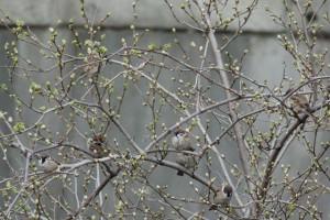 桑の葉の芽とスズメたち