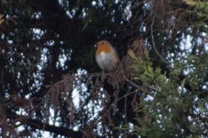 European robin (Erithacus rubecula/ヨーロッパコマドリ)