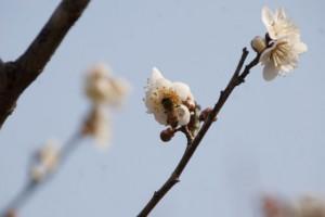 梅の花の蜜を集めるミツバチ