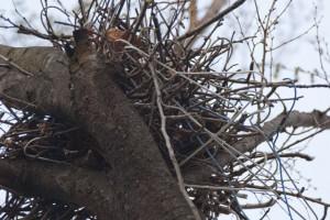 都会のカラスらしいハンガーを利用した巣