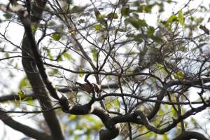 ヤマガラ 笹ヤブにあった黒い実を食べている