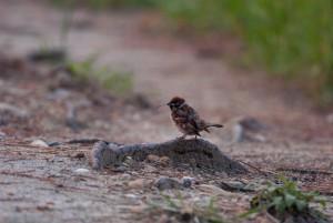 巣材を集める雀
