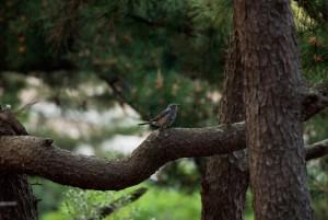 繁殖に入り静かになったヒヨドリ